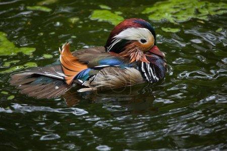 Mandarin duck (Aix galericulata).