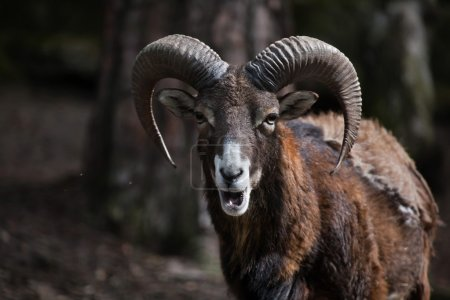 European mouflon (Ovis orientalis musimon). Wildli...