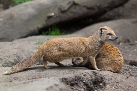 Yellow mongooses (Cynictis penicillata).