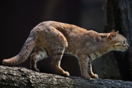 Rusty-spotted cat (Prionailurus rubiginosus phillipsi).