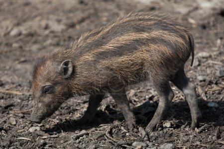 Visayan warty pig (Sus cebifrons).