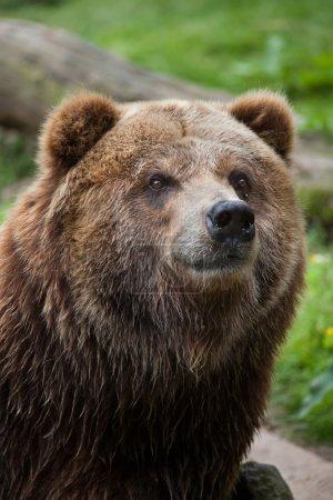 Mainland grizzly (Ursus arctos horribilis)