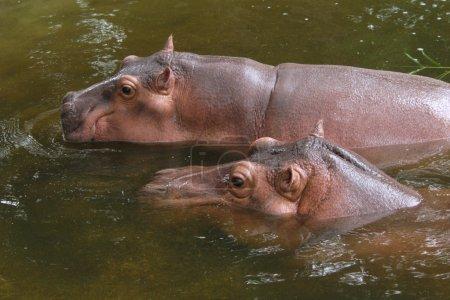 Two hippopotamuses