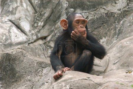 Photo pour Petit chimpanzé (Pan troglodytes) - image libre de droit