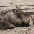 Desert warthogs (Phacochoerus aethiopicus) with a ...