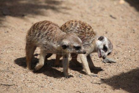 Two Meerkats (Suricata suricatta), also known as t...
