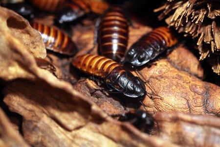 Madagascar hissing cockroaches Gromphadorhina portentosa