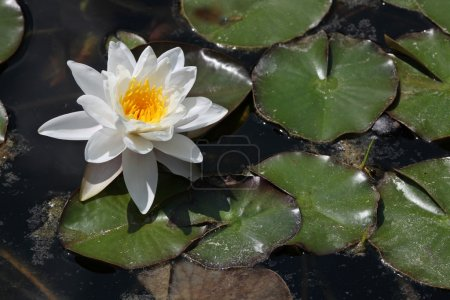 Star lotus water lily