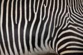 Zebra Grévyho jako pozadí