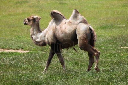 walking Bactrian camel