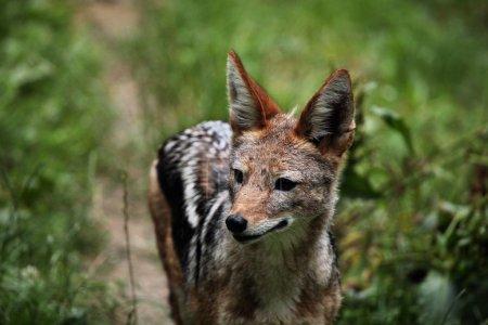 Black-backed jackal (Canis mesomelas)