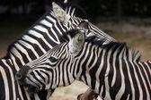 Equus quagga chapmani