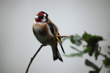 European goldfinch Carduelis