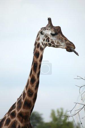 wild Rothschild's giraffes