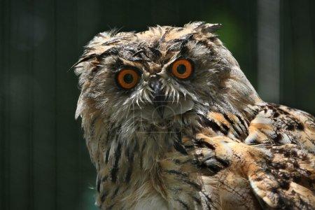 Wild Western Siberian eagle owl