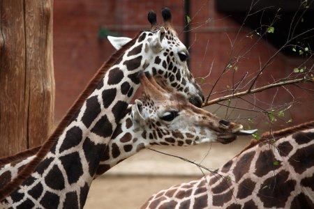 Wild Rothschild's giraffe
