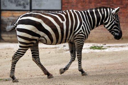 Wild Maneless zebra