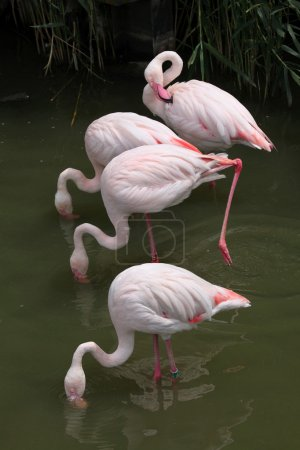 Wild Greater Flamingo