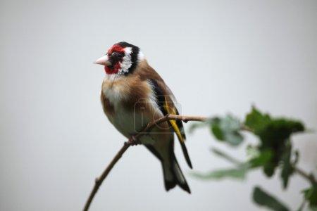 Wild European goldfinch