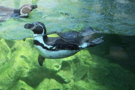Photo pour Pingouin sauvage Humboldt (Spheniscus humboldti), également connu sous le nom de pingouin chilien. Animaux sauvages . - image libre de droit