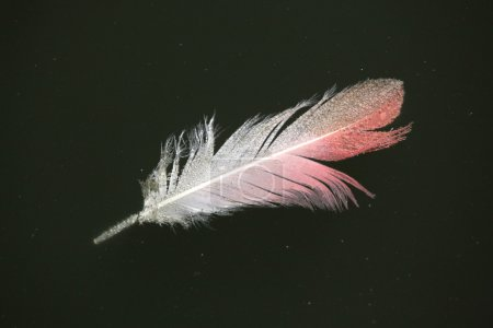 Greater flamingo  feather.