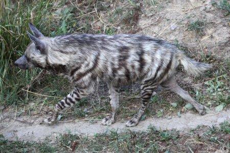 Photo pour Hyène sauvage rayée (Hyaena hyaena). Animaux sauvages . - image libre de droit