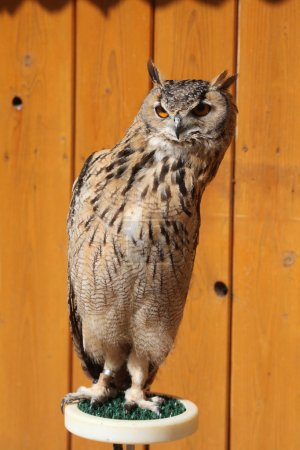 Indian eagle-owl in zoo