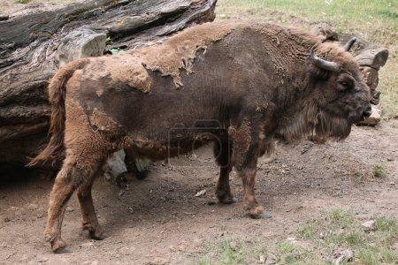 European bison animal