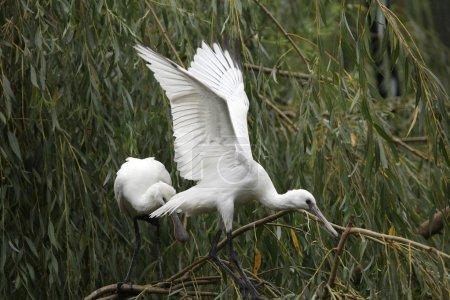 Eurasian spoonbill birds