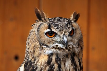 Indian eagle-owl (Bubo bengalensis).