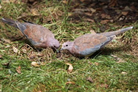 Laughing doves (Spilopelia senegalensis). Wild lif...