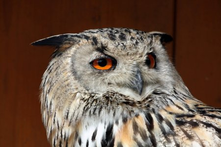 Western Siberian eagle-owl (Bubo bubo sibiricus).