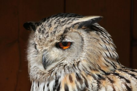 Western Siberian eagle-owl