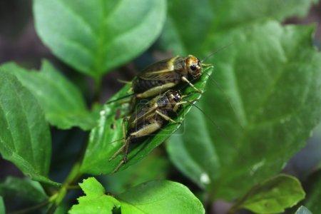 House crickets (Acheta domestica).