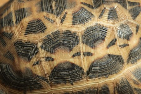 Common spider tortoise shell texture