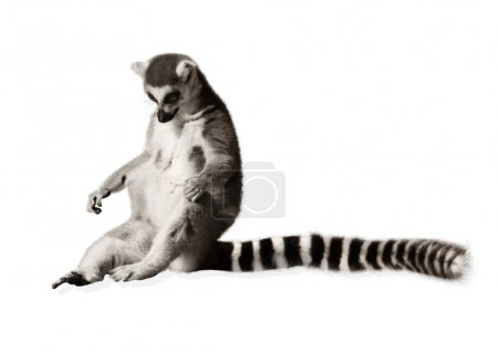 Photo for Amusing lemur with long tail sits on a white background - Royalty Free Image