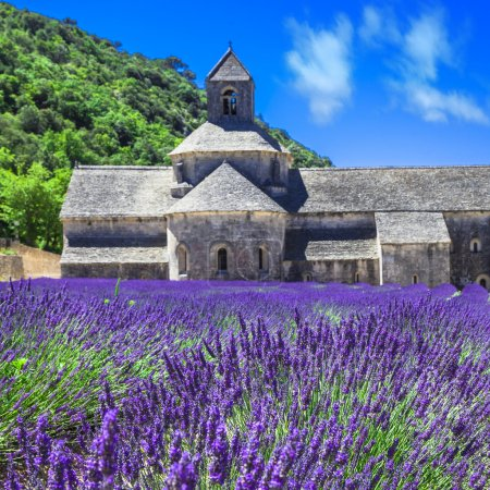 Photo for Violet blooming fields of lavander in Provence - Royalty Free Image