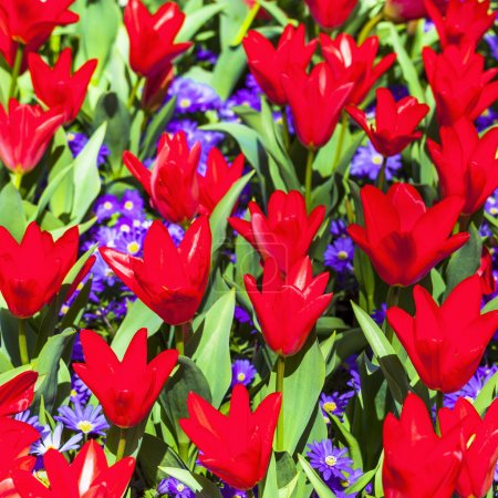 blooming red tulips in Holland