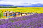 Blooming fields of lavander in Provence