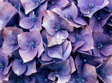 Violet garden flowers