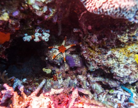Photo for Blue Starfish on Sandy Bottom of Reef, Bali, Indonesia - Royalty Free Image