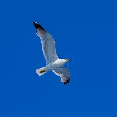 Flying Sea Gull in Blue Sky