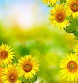 Nyáron a gyönyörű napraforgó mező