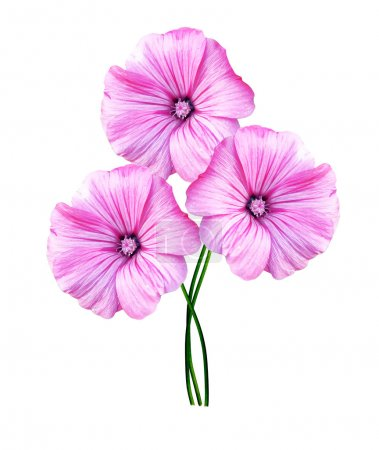 petunia flowers isolated on white background