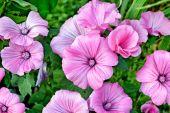 Růžové barevné květy lavatela na pozadí letní krajina