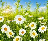 Százszorszépek vadvirágok