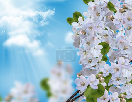 blossoming apple tree against the blue sky