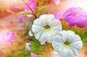 Morning Glory květiny. Květinové pozadí