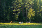Cows on green grass in the evening with forest in background