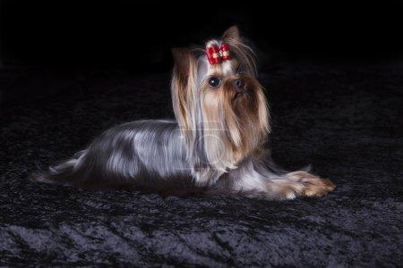 Cute Alert Yorkshire Terrier Lies on Black Blanket
